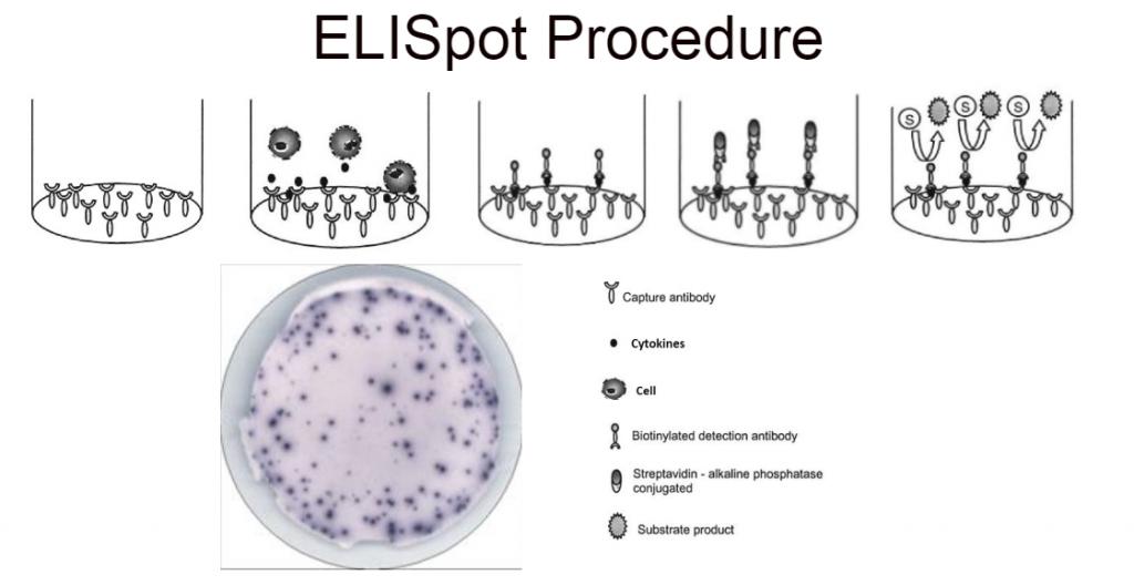 Eagle Biosciences ELISpot Assay Kit Procedure